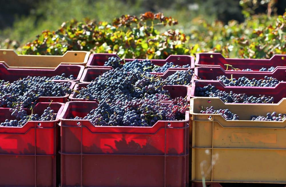 Сбор винограда в Приорате